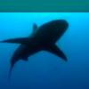 Shark Fin Soup Ban?