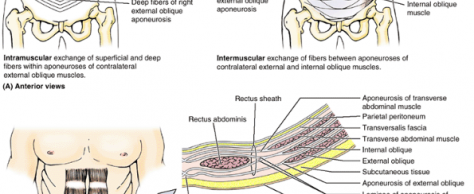 THE ABDOMINAL WALL: STRUCTURE & FUNCTION OF WOUND HEALING